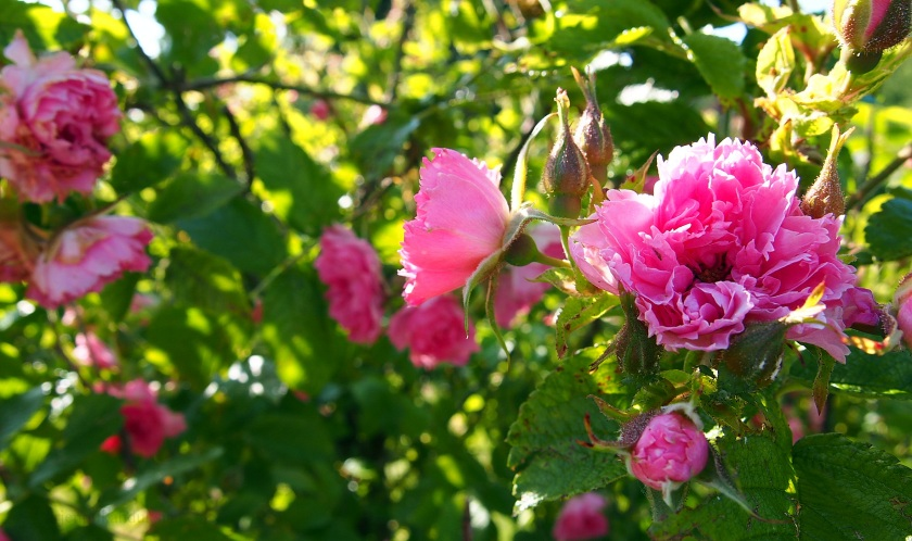 Vaaleanpunainen ruusu Tähkäpuistossa, Luolavuoressa